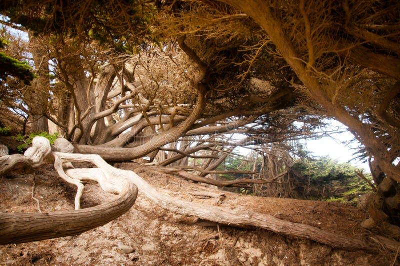 Großer Sur Baum stockfoto