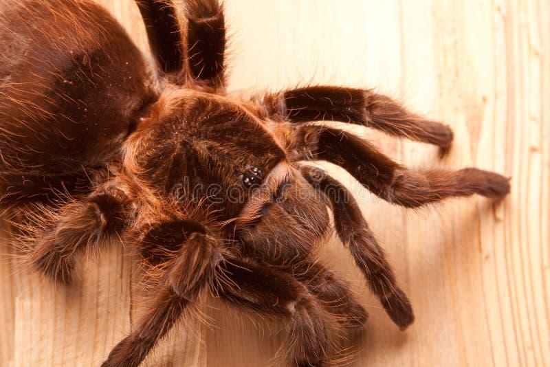 Großer Tarantula lizenzfreie stockfotos