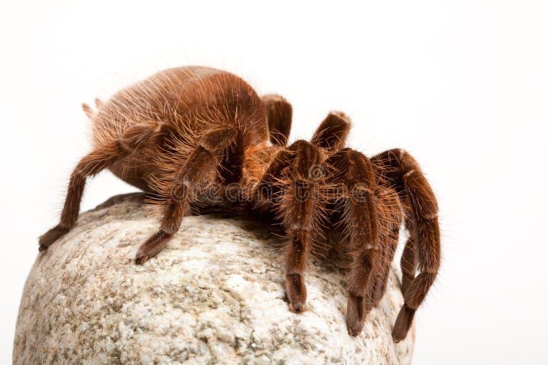 Großer Tarantula auf Felsen stockfoto
