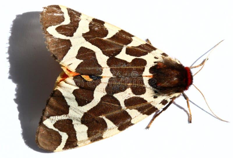 Großer Tiger Moth lizenzfreie stockbilder