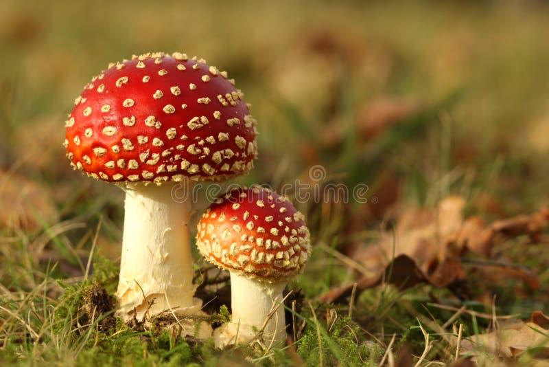Großer und kleiner Toadstool im Gras stockbild