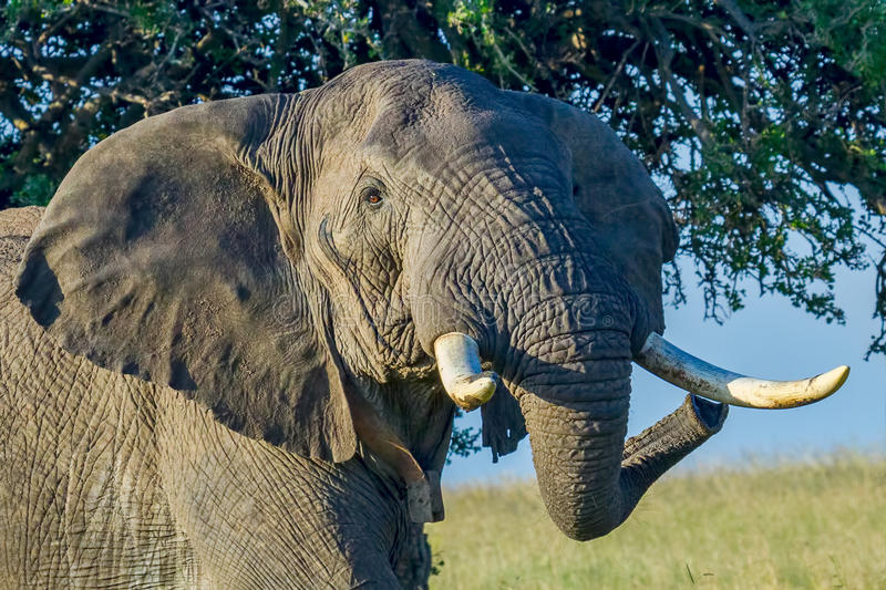 Großer verärgerter afrikanischer Elefant stockbilder