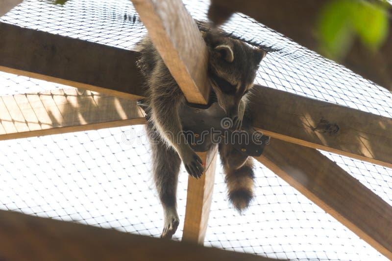 Großer Waschbär, der in einem Käfig auf einem Landsafaribauernhof schläft lizenzfreies stockbild