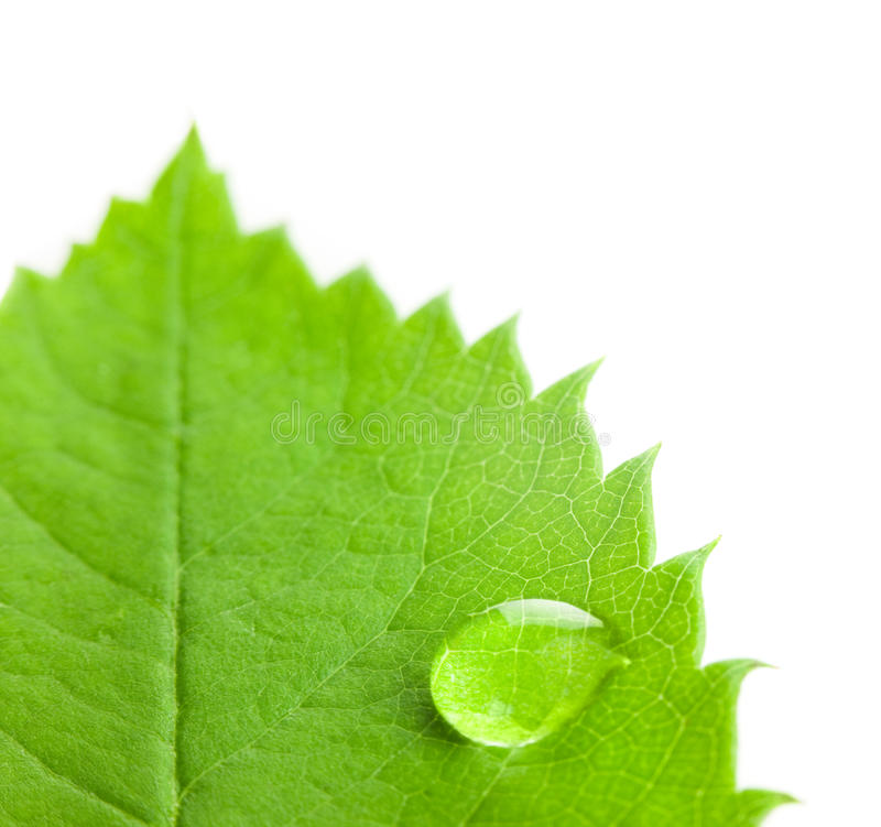 Großer Wasser-Tropfen auf einem grünen Blatt/einem weißen Hintergrund lizenzfreies stockfoto