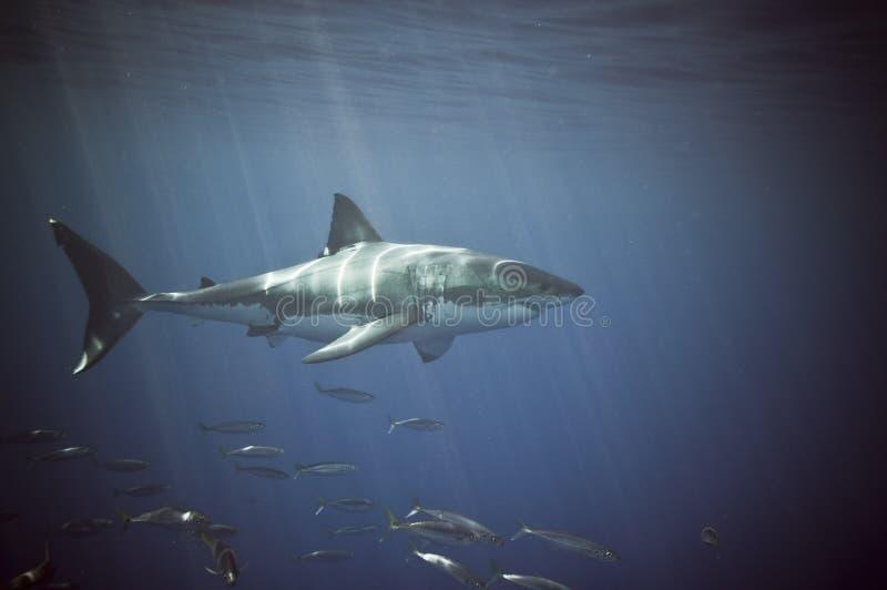 Großer weißer Haifisch lizenzfreie stockfotografie
