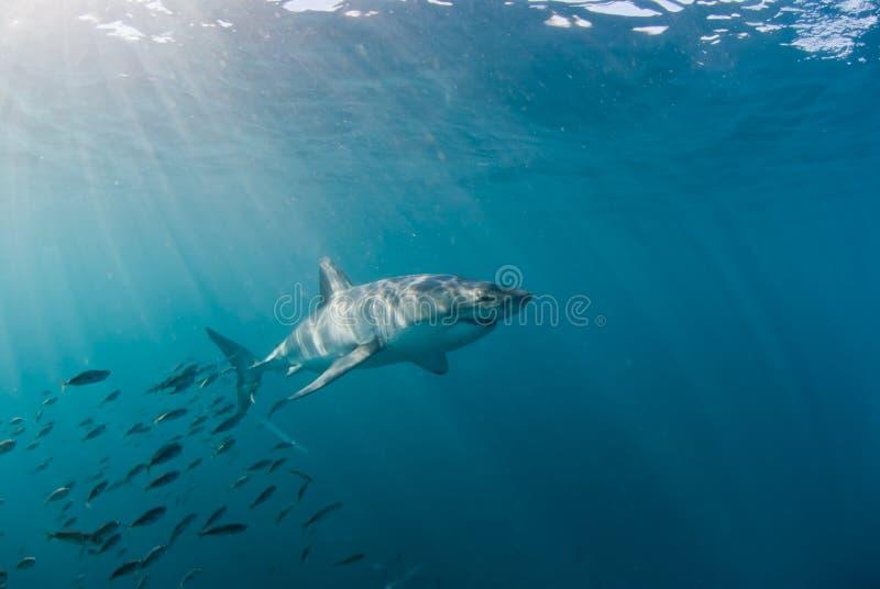 Großer weißer Haifisch und Masse der Fische lizenzfreie stockbilder