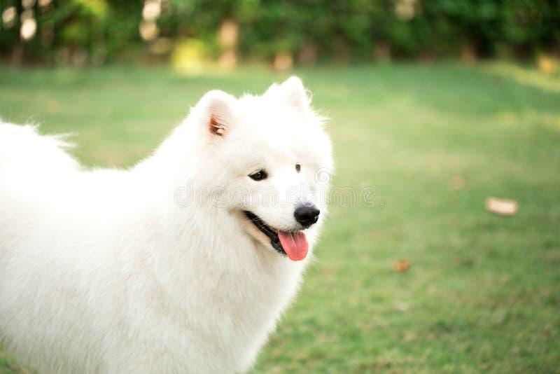 Großer weißer Hund, der im Hinterhof spielt stockbilder