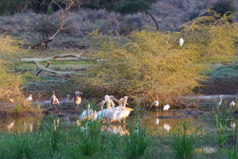 Großer weißer Pelikan lizenzfreies stockbild