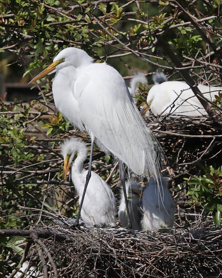 Großer weißer Reiher, der im Nest mit Babys steht stockfoto