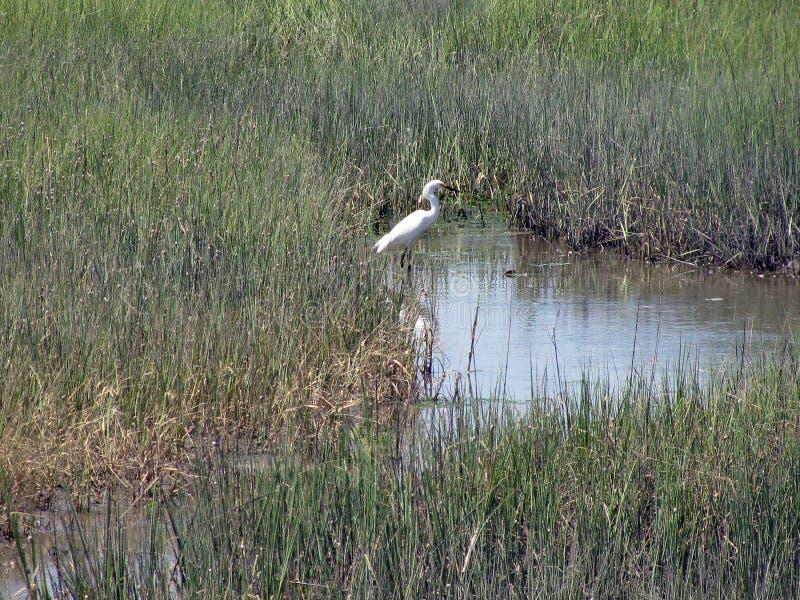 Großer weißer Reiher im Sumpf lizenzfreies stockfoto