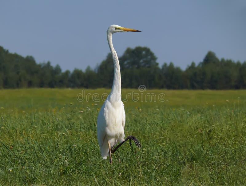 Großer weißer Reiher steht auf einem Bein in der grünen Rasenfläche lizenzfreie stockfotografie