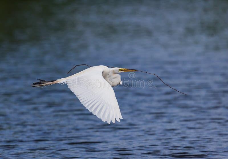 Großer weißer Reiher trägt Nestmaterial, um zu nisten lizenzfreie stockfotos