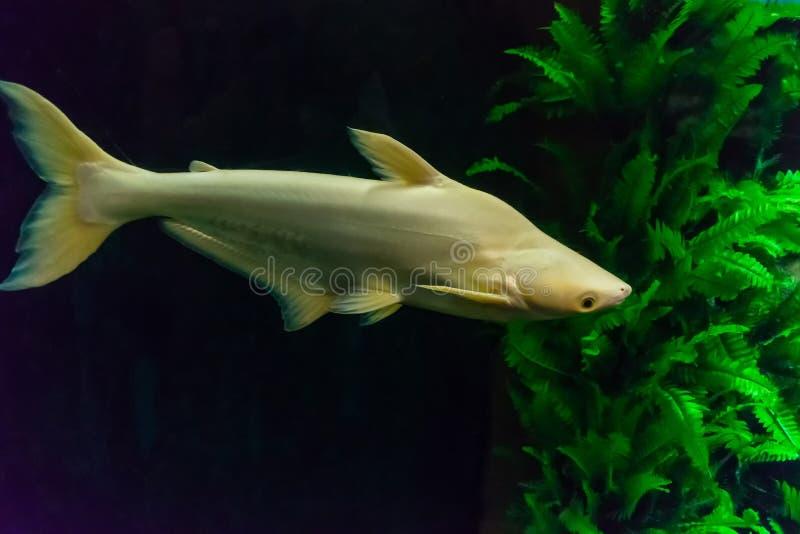 Großer Weißfisch in der Dunkelheit mit grüner Meerespflanze lizenzfreie stockfotos