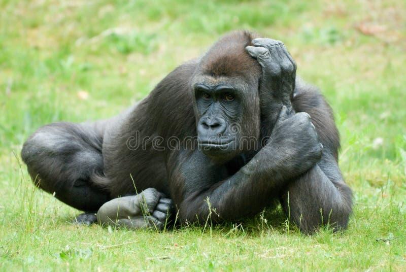 Großer weiblicher Gorilla lizenzfreies stockbild