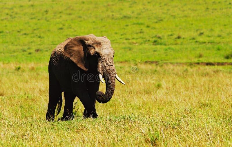 Großer wilder afrikanischer Elefant stockbilder