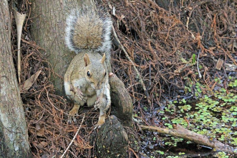 Großer Zypresse Fox Squirel lizenzfreies stockfoto