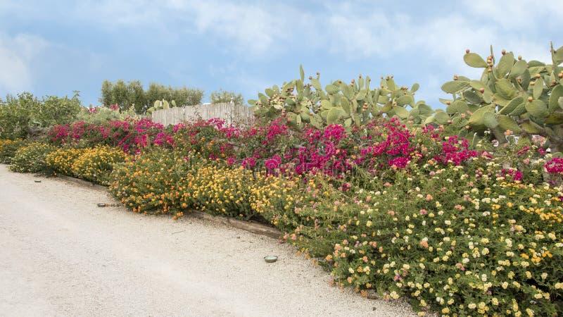 Großes Bett des purpurroten Bouganvillas und des Lantana mit Kaktusfeigen stockfoto