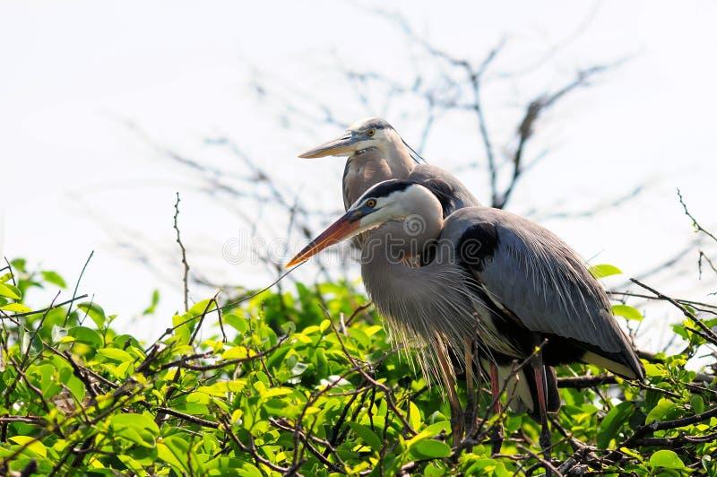 Großes Blau-Reiher im Nest stockfoto