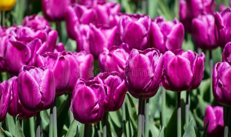 gro es blumenbeet mit lila tulpen im park stockfoto bild von fr hling mehrfarbig 110003038. Black Bedroom Furniture Sets. Home Design Ideas