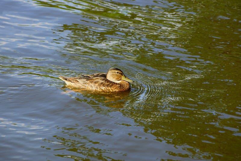 großes braunes Wildenteschwimmen im Teich stockfoto