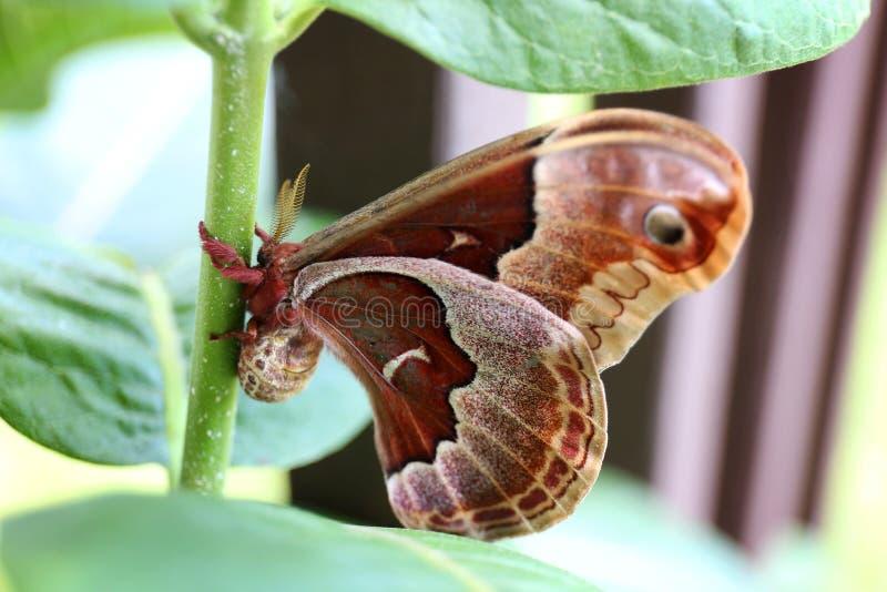 Großes Brown und rote Motte Promethea Silkmoth auf Milkweed-Anlage herein lizenzfreie stockfotografie