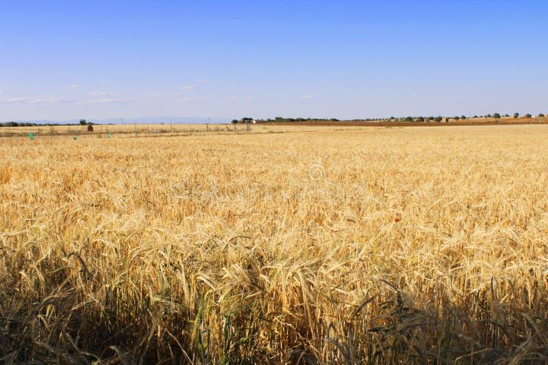 Großes Feld der Gerste in Spanien lizenzfreie stockfotos