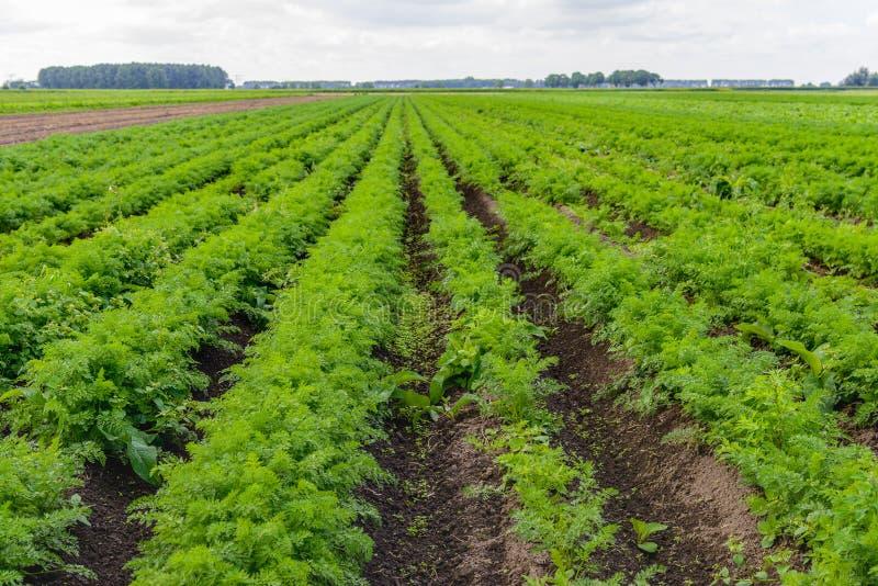 Großes Feld mit Karottenanlagen an einem Gemüsebauernhof stockbild