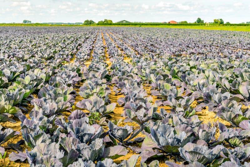 Großes Feld mit organisch gewachsenen Rotkohlanlagen lizenzfreies stockbild