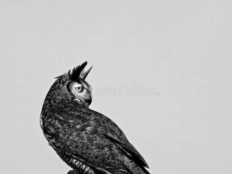 Großes gehörntes Owl Backwards in B&W stockfoto