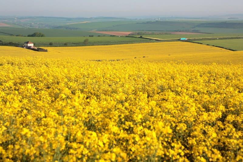 Großes gelbes Rapsfeld in Dorset im Früjahr stockfotos