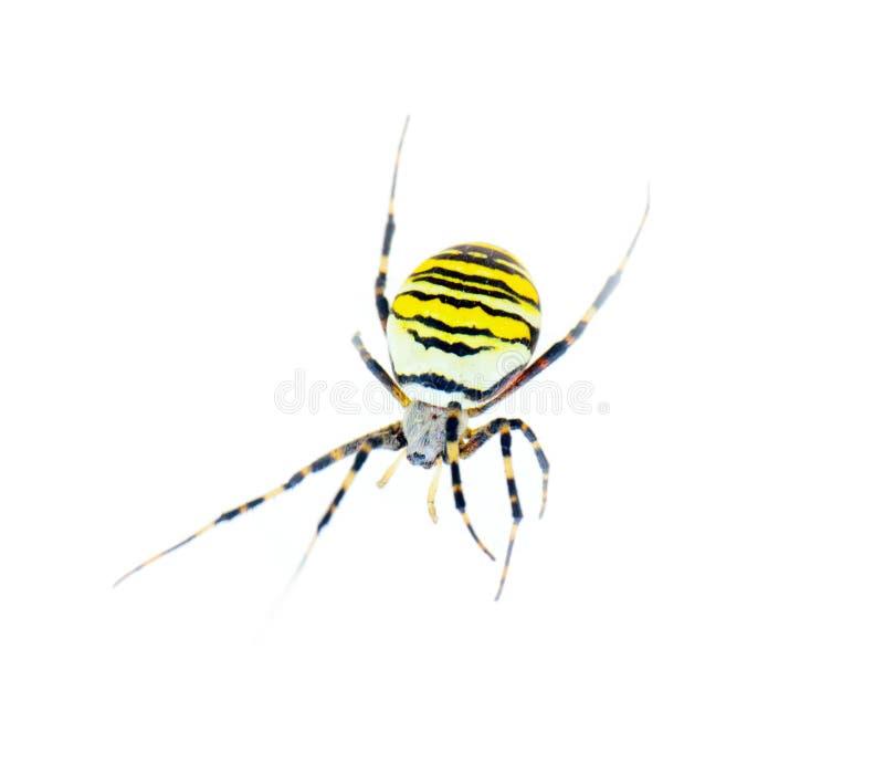 Großes gestreiftes Spinnenzebra, das auf weißen Hintergrund kriecht Abschluss oben lizenzfreie stockfotos