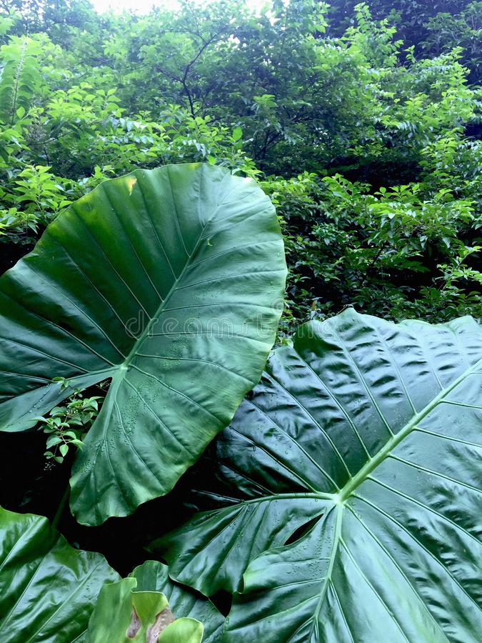 Großes grünes Blatt von Colocasia essbar stockbilder