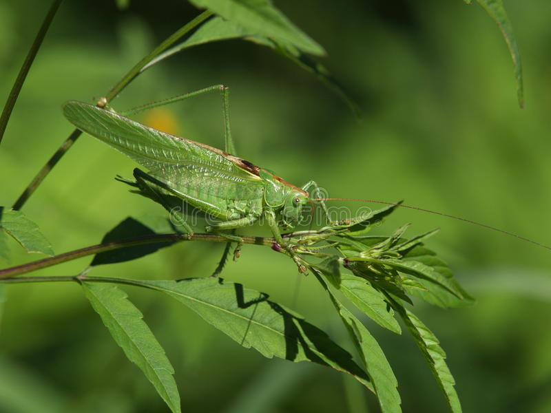 Großes grünes Buschkricket Tettigonia viridissima lizenzfreie stockfotos