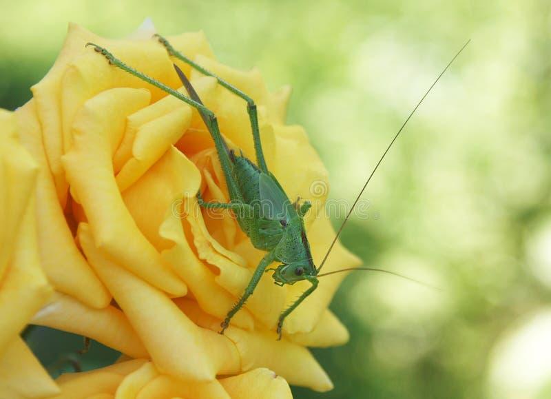 Großes grünes bushcow auf einer orange Rose stockfoto