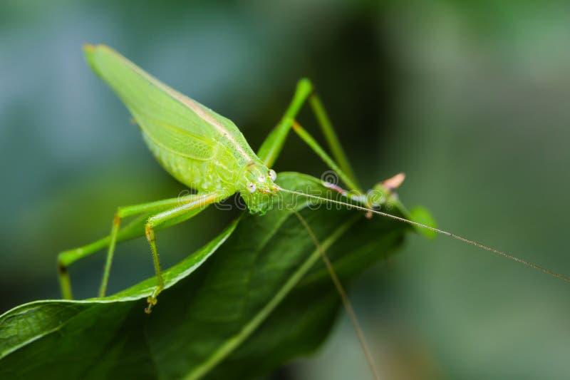 Download Großes grünes bushcricket stockfoto. Bild von grün, abschluß - 27733156