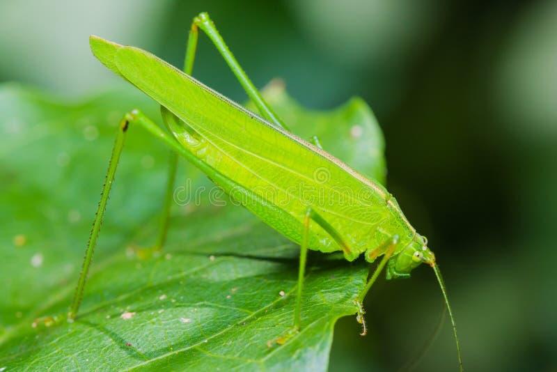 Download Großes grünes bushcricket stockfoto. Bild von betrieb - 27733184