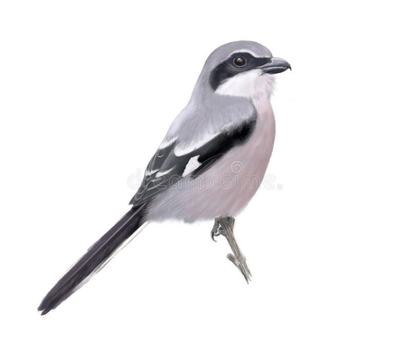 Großes graues Shrike lizenzfreies stockbild