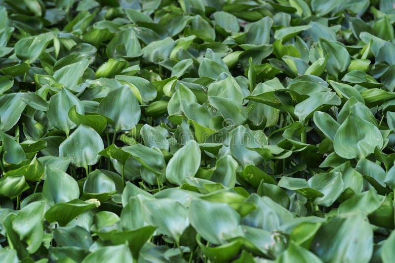 Großes Laub, abstrakte grüne Beschaffenheit, Naturhintergrund stockbild