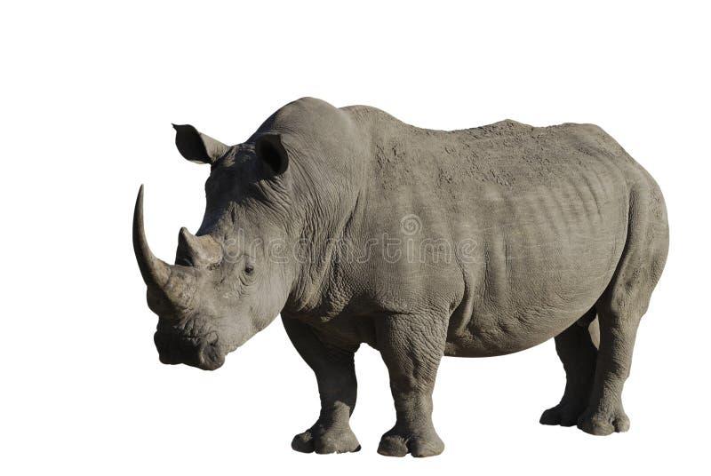 Großes männliches Nashorn lizenzfreies stockbild