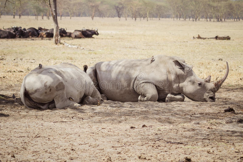 Großes müdes rhinoceros& x27; lizenzfreies stockbild