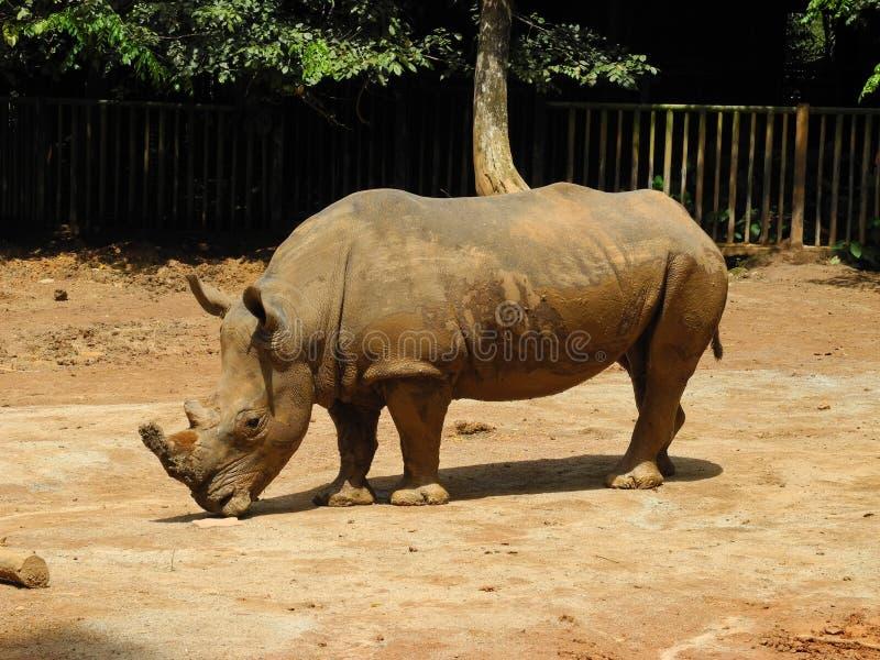 Großes Nashorn, Malaysia stockfoto