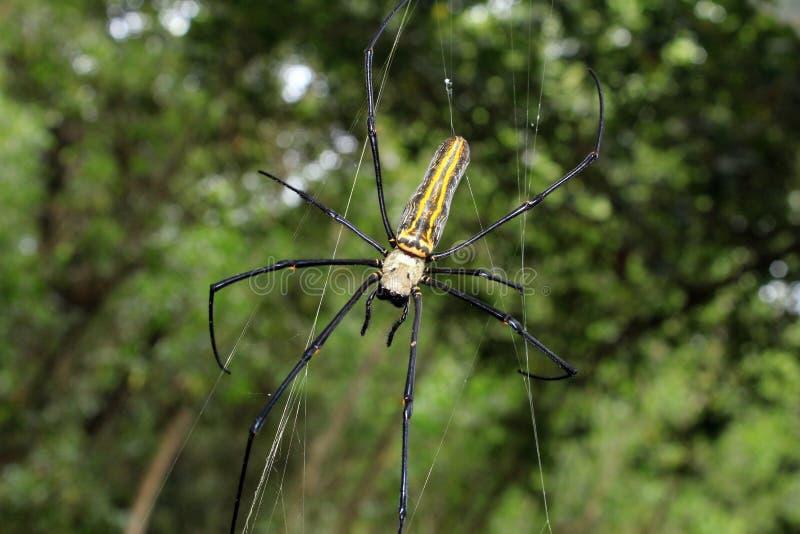 Großes Nephila-maculata, riesiger Lang-Kinnbackengoldener Kugelnordweber oder riesige hölzerne Spinne auf Netz stockfotos