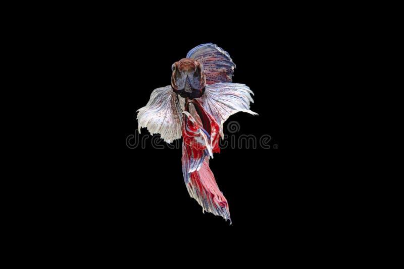 Großes Ohr des Siamesischen Kampffisches weiß, blau, rot und grün mit schönem und einzigartigem lokalem thailändischem Lokalisier lizenzfreies stockfoto