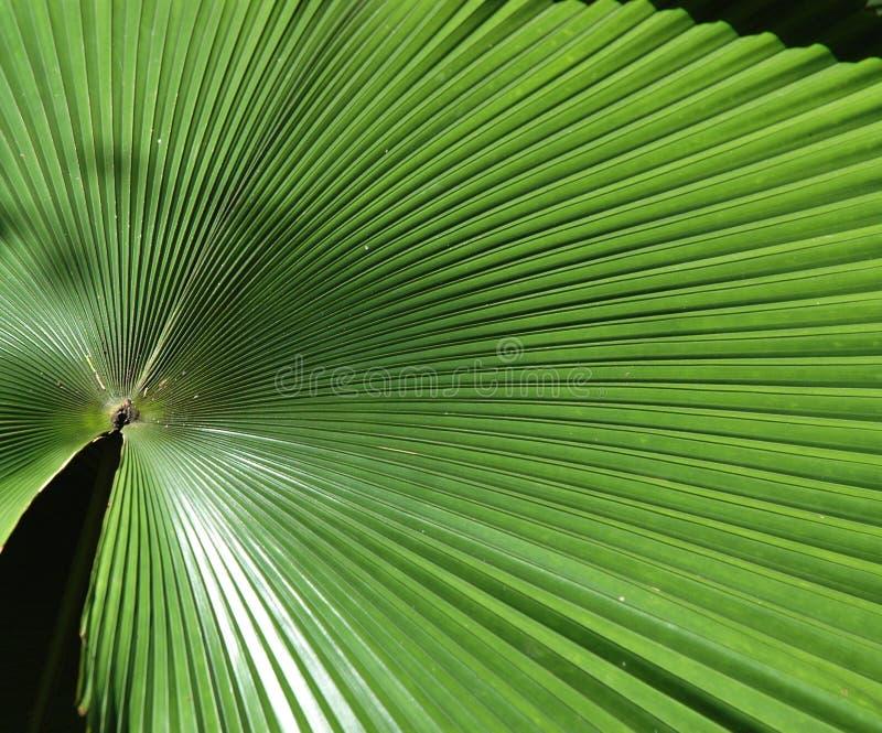 Großes Palmblatt Stockbild
