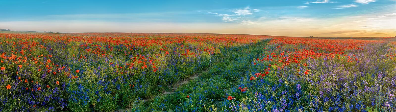 Großes Panorama von Mohnblumen und von bellsflowers Feld mit Weg lizenzfreie stockbilder