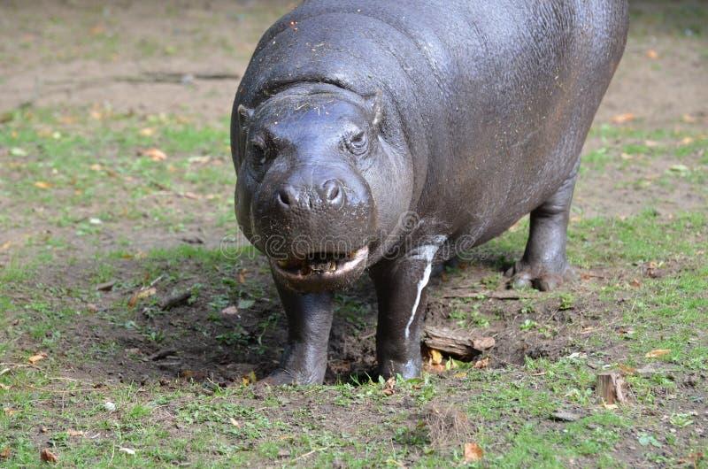 Großes Pygmäenflusspferd mit seinem Mund teilweise offen lizenzfreies stockfoto