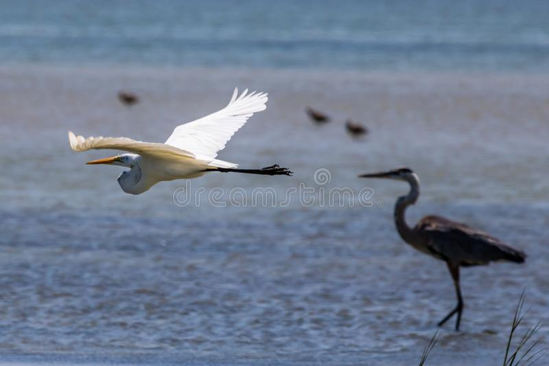 Großes Reiher-Fliegen entlang dem Strand im Hafen Aransas Texas stockfotografie