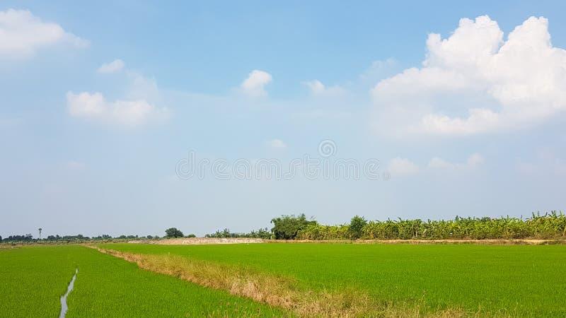 Großes Reisfeld herum mit blauem Himmel und weißen Wolken stockbild