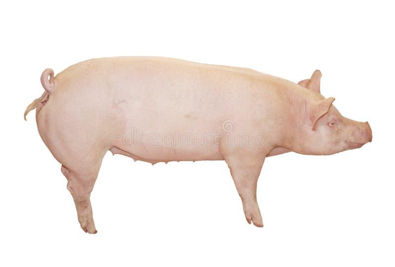 Großes rosafarbenes Schwein stockbild