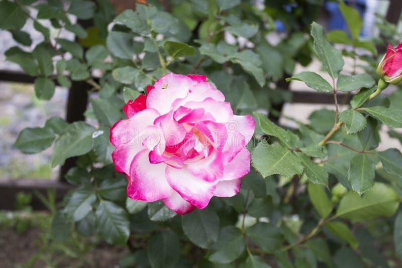Großes schönes Rosa verblaßte völlig Garten stieg lizenzfreies stockfoto